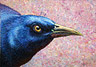 Portrait of a Grackle