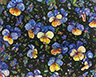 Floral Interpretation - Pansies
